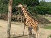 giraffe-480x640